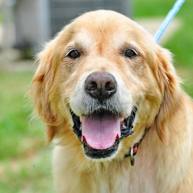 Adopt Brady On Dogs Golden Retriever Adoption Golden Retriever