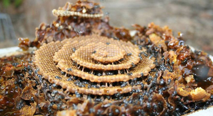 Beehives are typically comprised of parallel layers of honeycombs, like an office building filled with cubicles. But in Australia, a bee species known as Tetragonula carbonaria, a/k/a sugarbag bees, build their hives in a single-layer spiral, like they're imitating the Guggenheim. Why do they build them this way? National Geographic