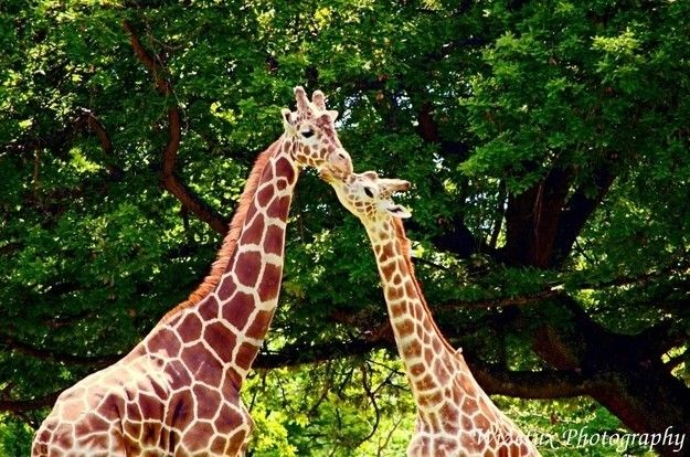 Giraffe che si baciano Animali Pinterest Giraffe - griffe für küche