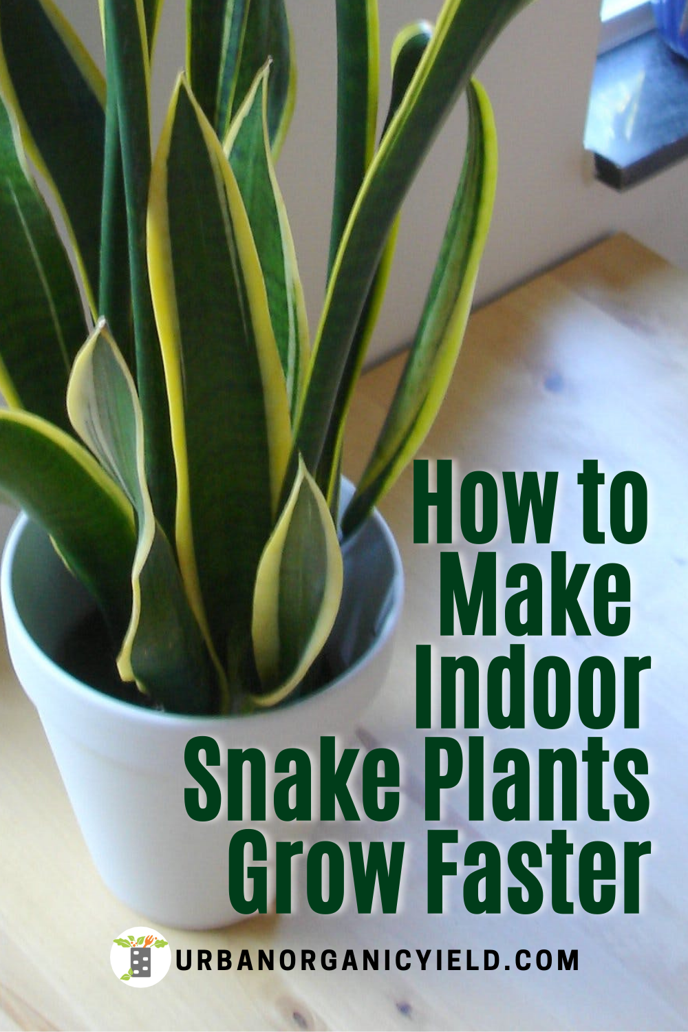 How to Care for Indoor Snake Plants