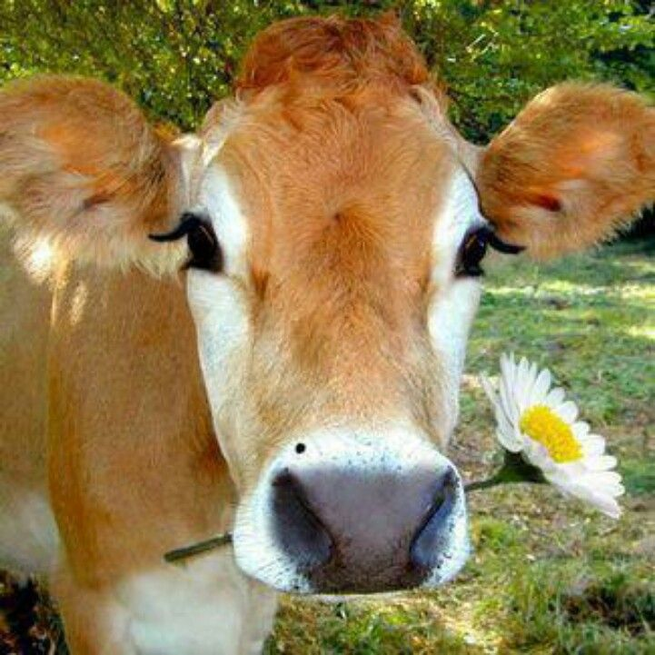 Cows Milk A Cruel And Unhealthy Product Adorable Animals