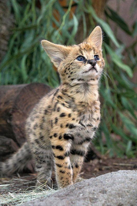 Kitten Kamari Serval Kitten Serval Cats Kittens