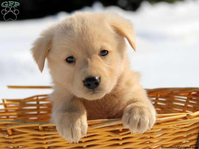 Golden shepherd puppies for sale golden shepherd