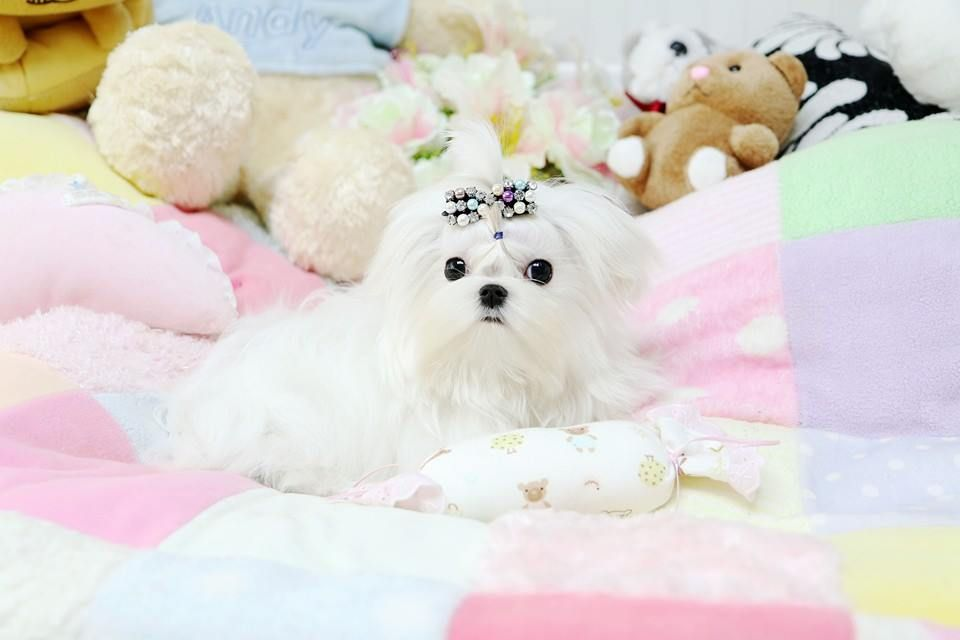Maltese Micromaltese 3lbs Fully Grown Could Be Yours For More