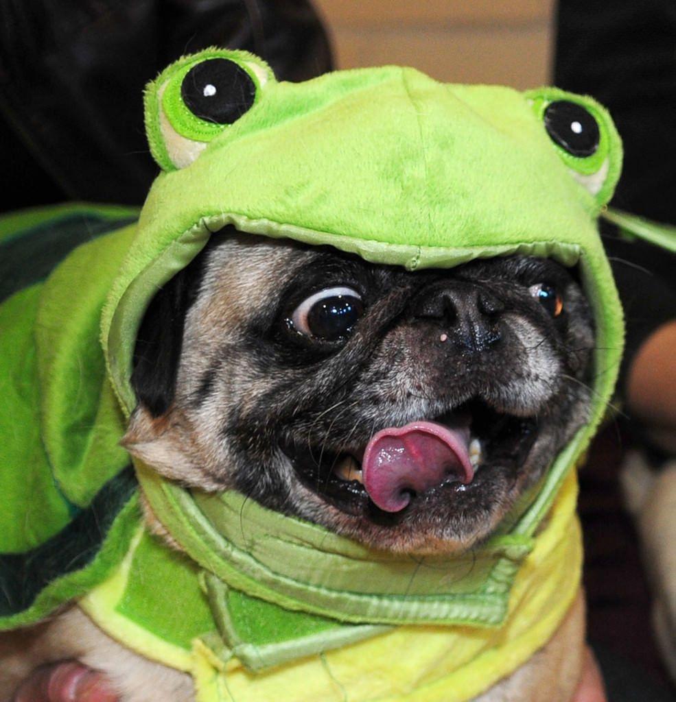 Help Doug the Pug choose his Halloween costume | Harry potter ...