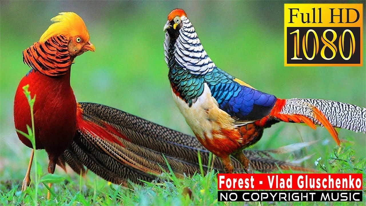 No Copyright Music For Every One Forest In 2020 Beautiful Birds Most Beautiful Birds Pretty Birds
