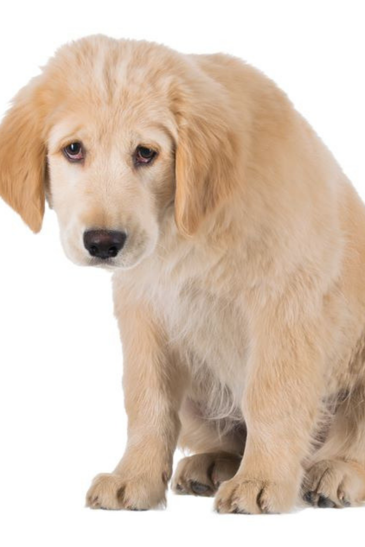 Miserable Golden Retriever Puppy Sitting Front View Isolated On White Background Goldenretriever Golden Retriever Retriever Puppy Golden Retriever Puppy