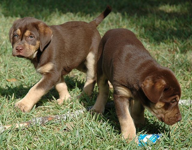 Tan Point Chocolate Labs Furry Friend Loyal Dogs Puppy Love