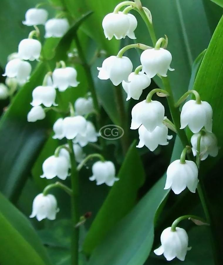 Lily Of The Valley 25 Bare Root Plants Lily Of The Valley Flowers Lily Of The Valley Shade Loving Perennials