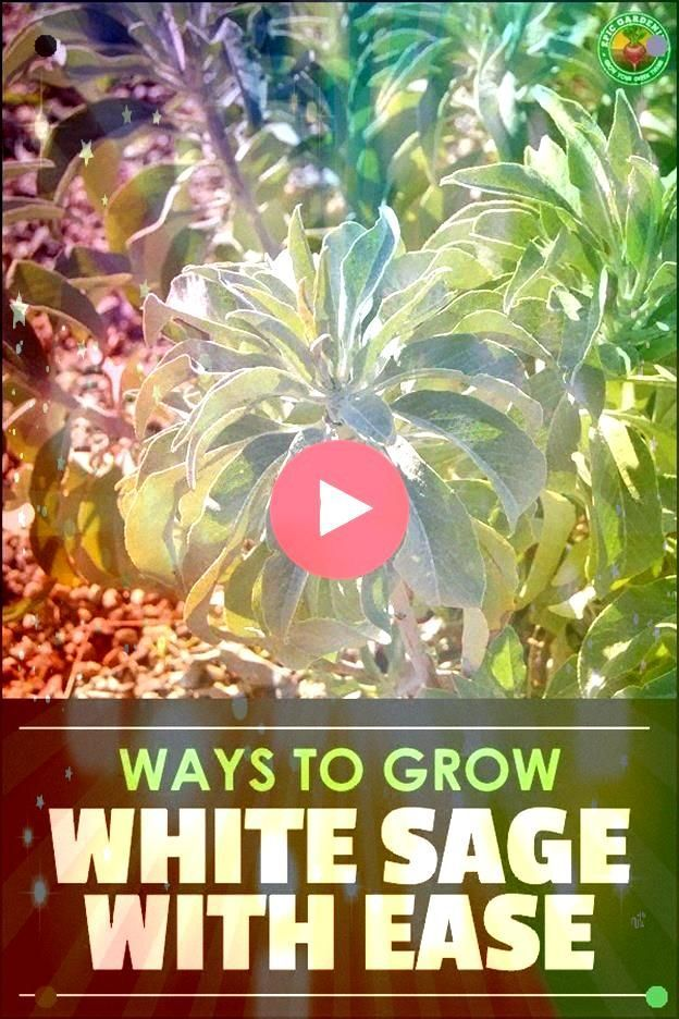 Apiana Is A Wonderful Plant For Cooking Medicinal Use And Smudging Adapt Exactly How To Grow Cultivate And Harvest In This GuideWhite Sage Salvia Apiana Is A Wonderful Pl...