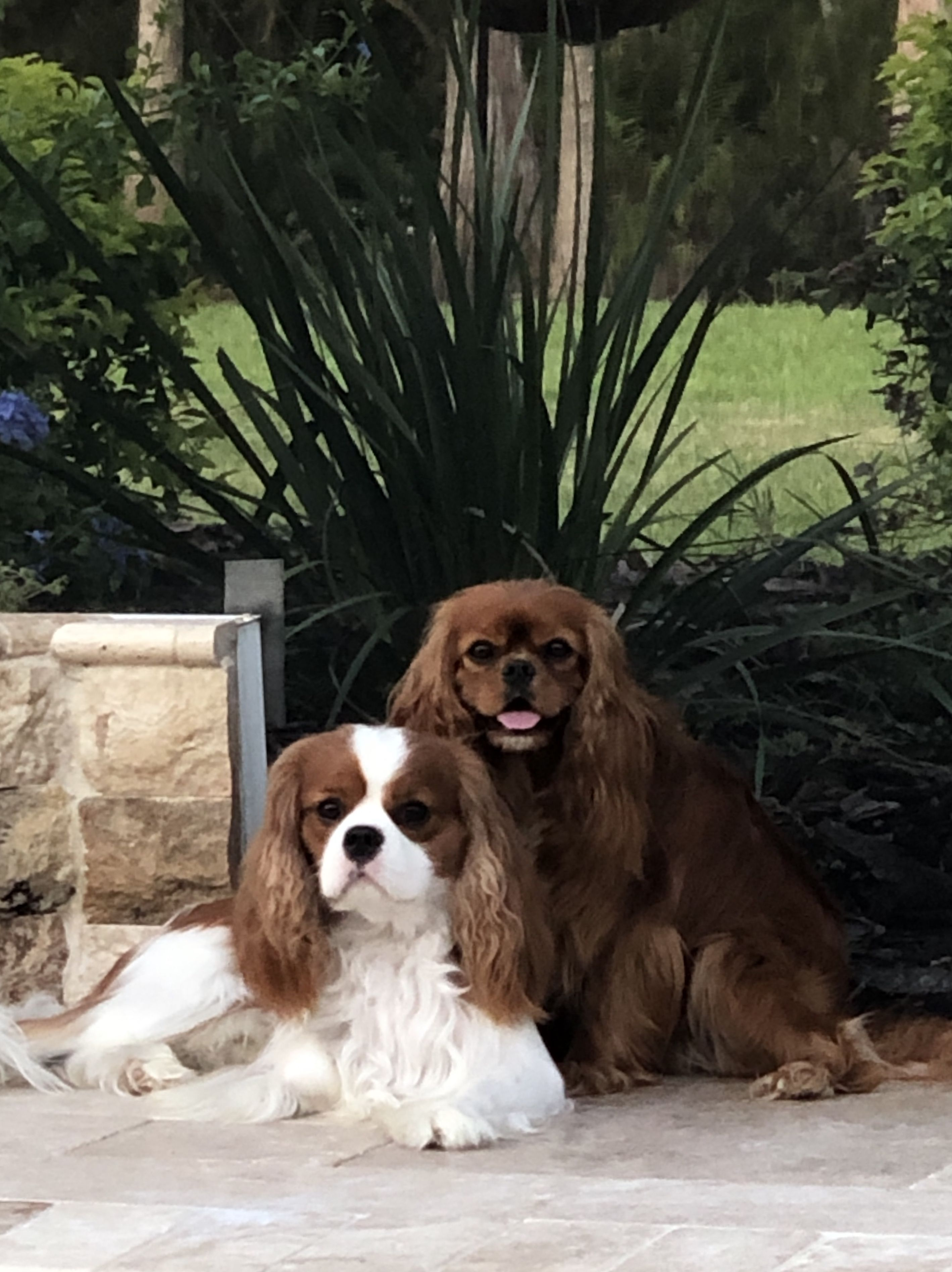 Pin By Anita Hetherington On Cavalier Cavalier King Charles Dog Cute Cats And Dogs Cavalier Puppy
