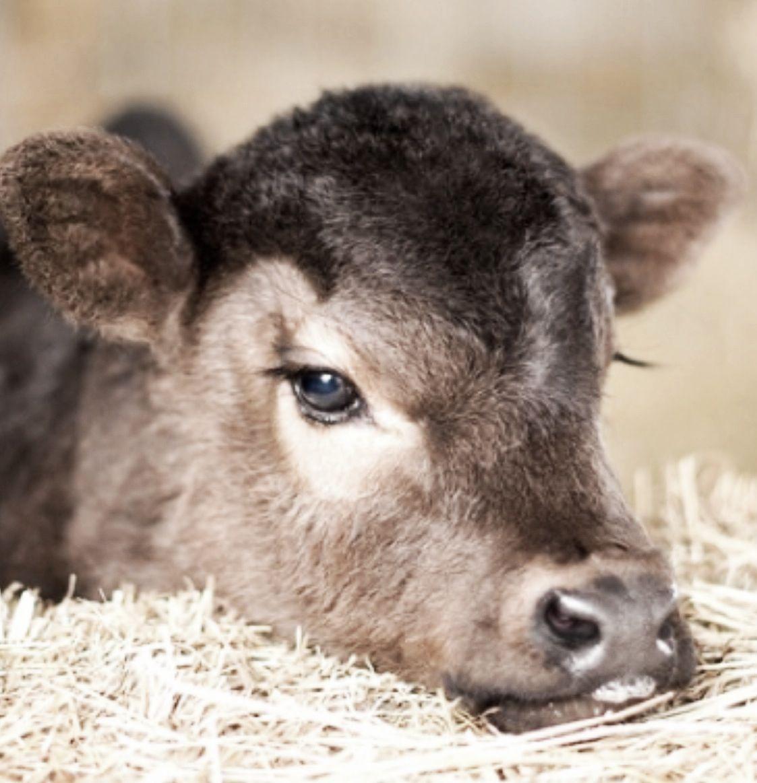 Cows Kin Getz De Blues Too De Onlys Thing Goin Fer Meez Be Me