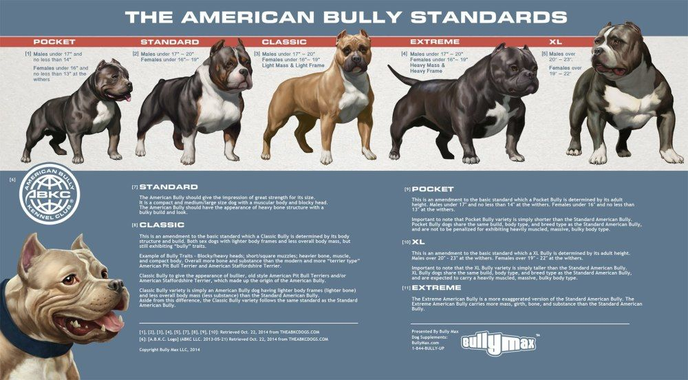 American Bully Classes Side By Side Bully Breed Photos This Is