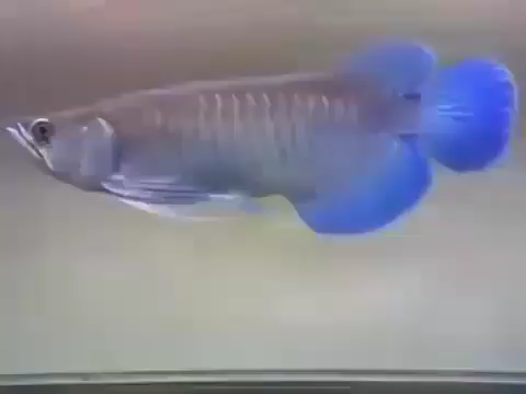 All credit to @aquariumhobby.id on instagram as the owner of this content.