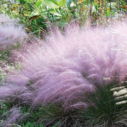 Grasses pink muhly grass in productcontexttitle from for Ornamental grass with pink flowers