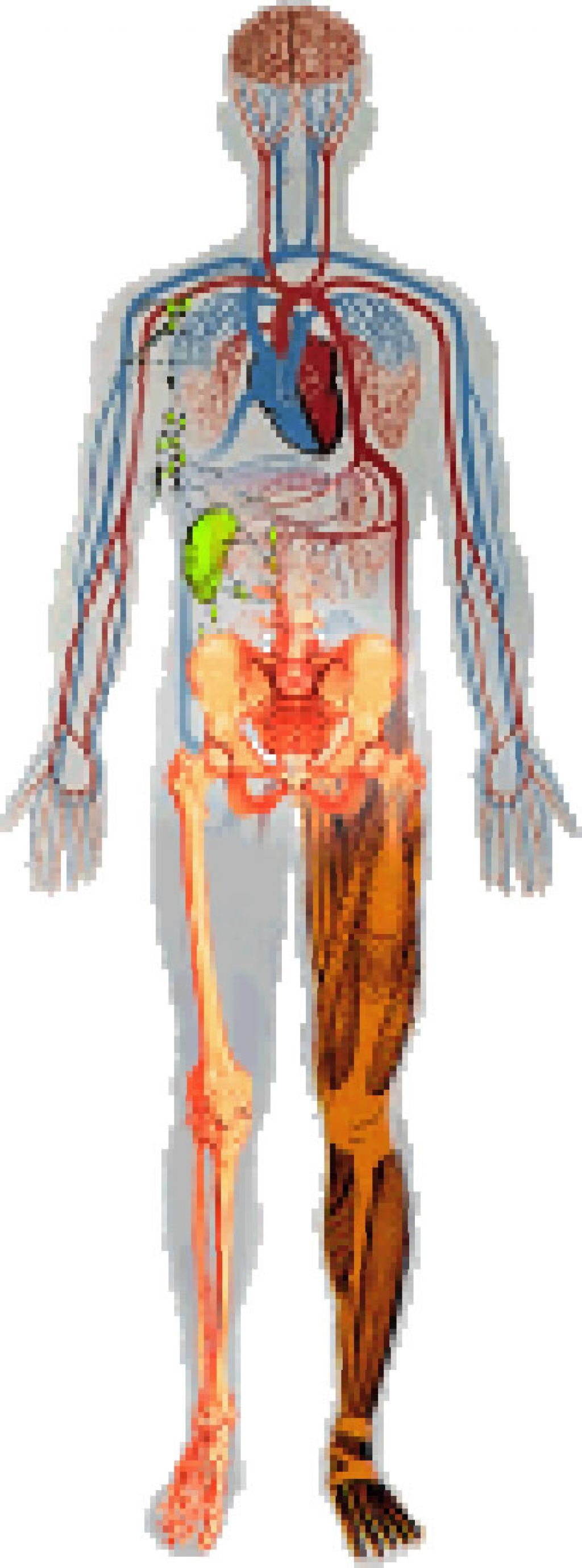 Human Body Systems Diagrams | Human body systems, Human ...