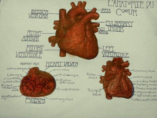 The anatomy of a human heart