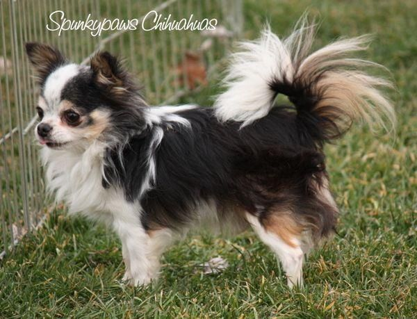 Spunkypaws Chihuahuas Spunky Lil Picasso Bred By Dana Baker Very Cute Dogs Chihuahua Chihuahua Puppies