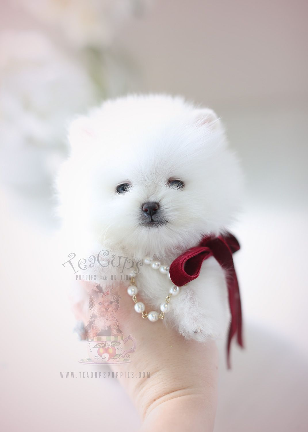 Beautiful Pomeranian Puppy By Teacup Puppies Boutique Home Raised And Locally Bred In South Florida Teacup Puppies Pomeranian Puppy Pomeranian Puppy Teacup