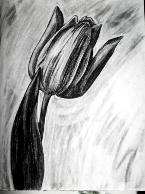 Tulip Drawing Charcoal Drawing Flower Drawing Pencil