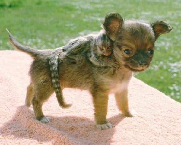 Marmoset on a puppy's back