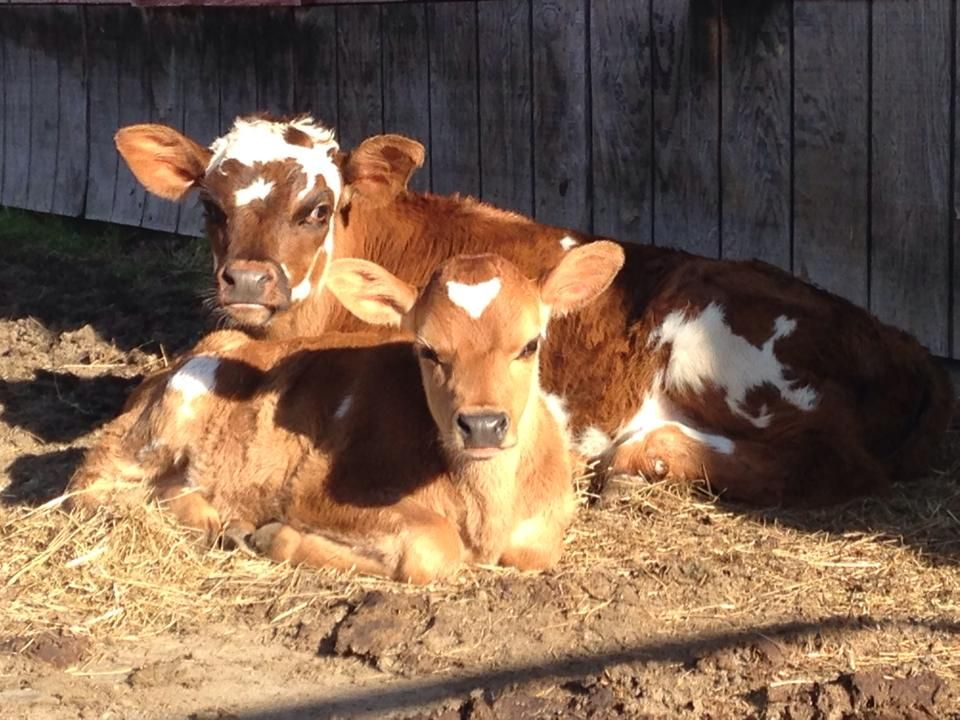 Look at these two pals! Find a dairy near you selling farm ...