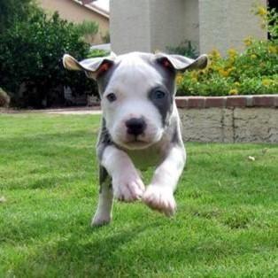 Adiestramiento Del Pitbull Razas De Perros Pitbull Perros