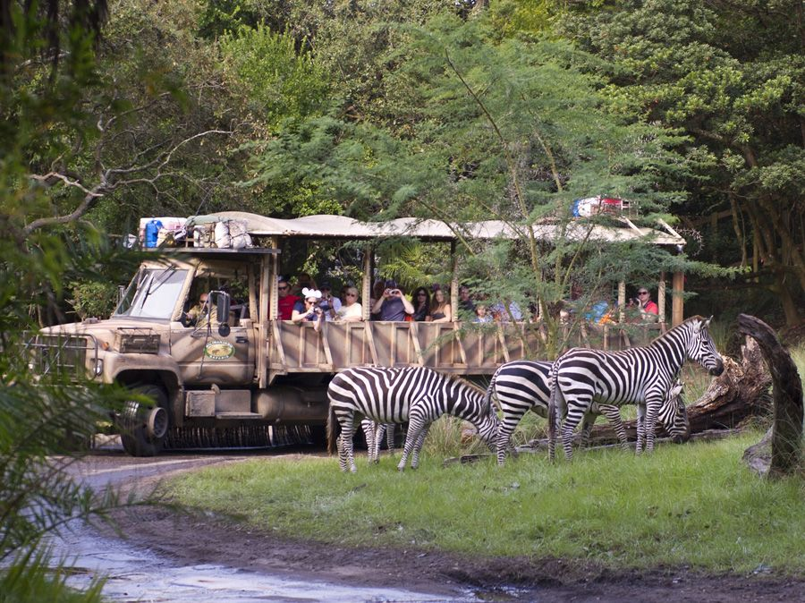 Guests Are Seeing Stripes At Disney S Animal Kingdom Zebras Out