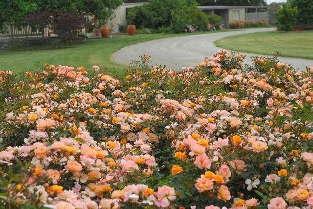 Flower Carpet Amber Roses Soften A Driveway Entrance It S An Ideal Landscape Plant Easy Landscaping Easy Garden Plants