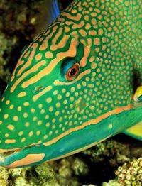 Parrot Fish Use As Model For Batik Art Quilt Parrot Fish Sea Creatures Sea Fish