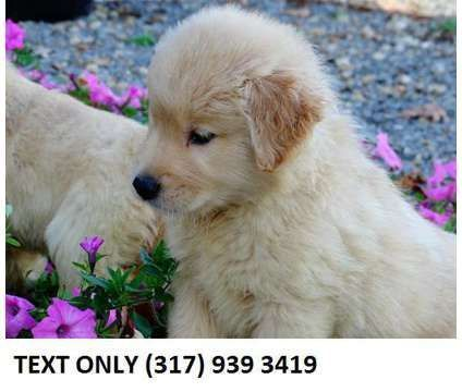 Fghdfh Golden Retriever Puppies For Sale Is A Female Male Golden