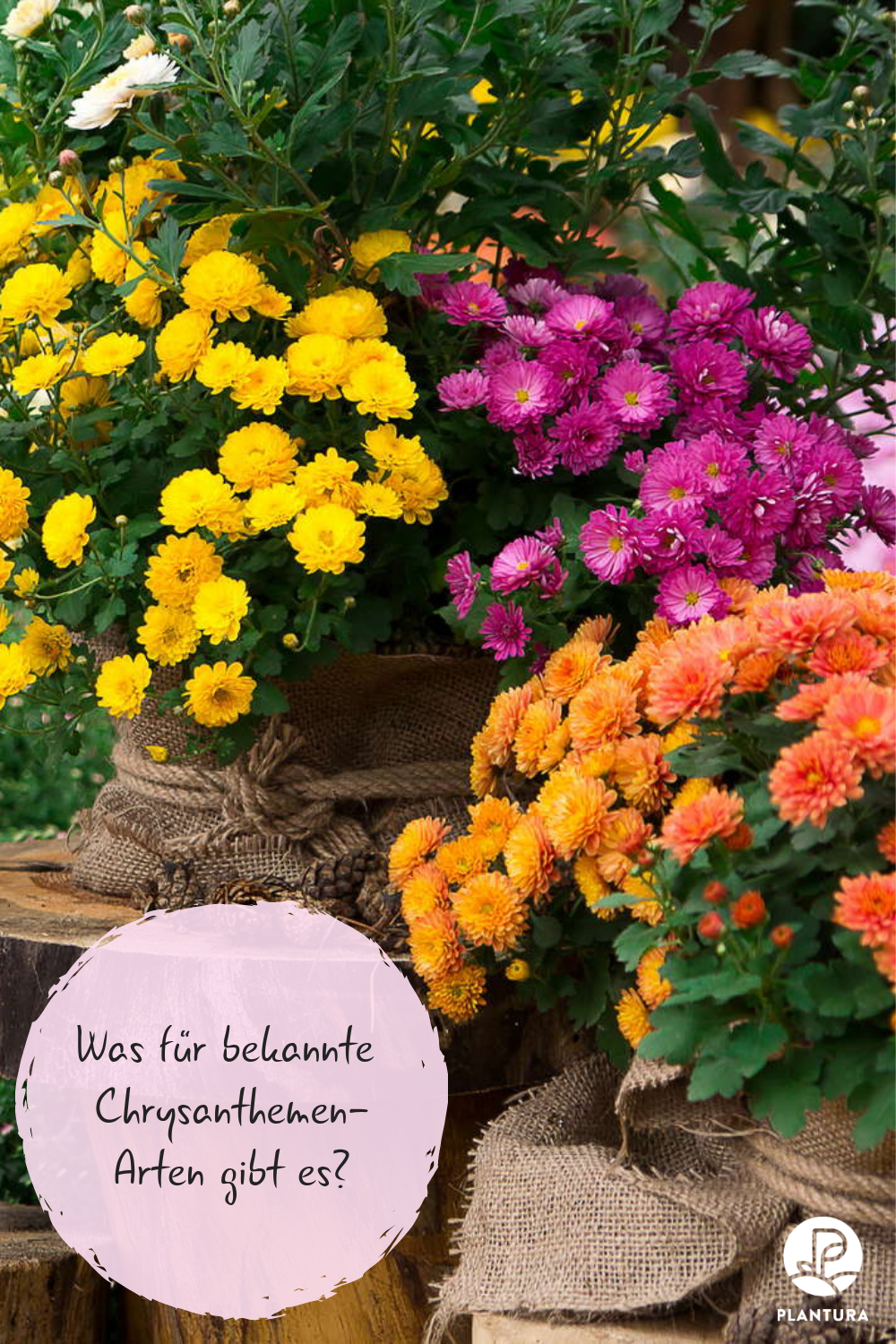 Chrysanthemen Arten Chrysanthemum Indicum Andere Sorten