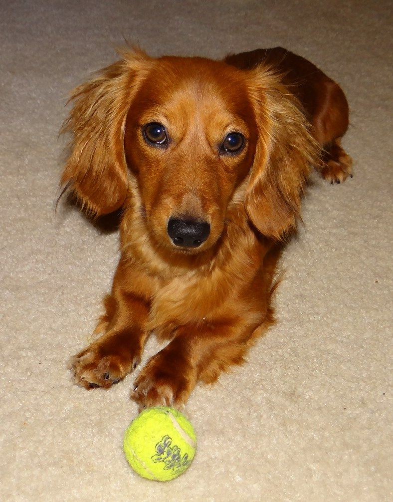 Sweet Cody boy! Doxie puppies, Weiner dog, Weenie dogs