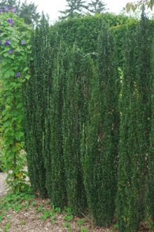 Sky Pencil Holly Tree Privacy Landscaping Sky Pencil Holly Natural Privacy Fences