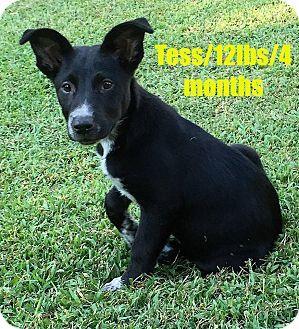 North Brunswick Nj Border Collie Mix Meet Tess A Puppy For