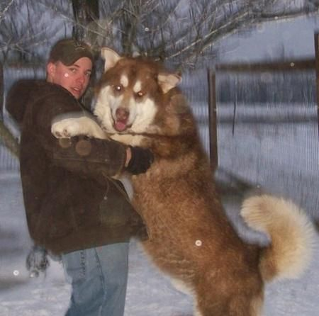 Giant Malamutes Giant Alaskan Malamutes For Sale Ervin S