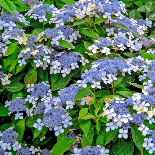 Hydrangea Serrata Bluebird I Love Colors 1 Spring
