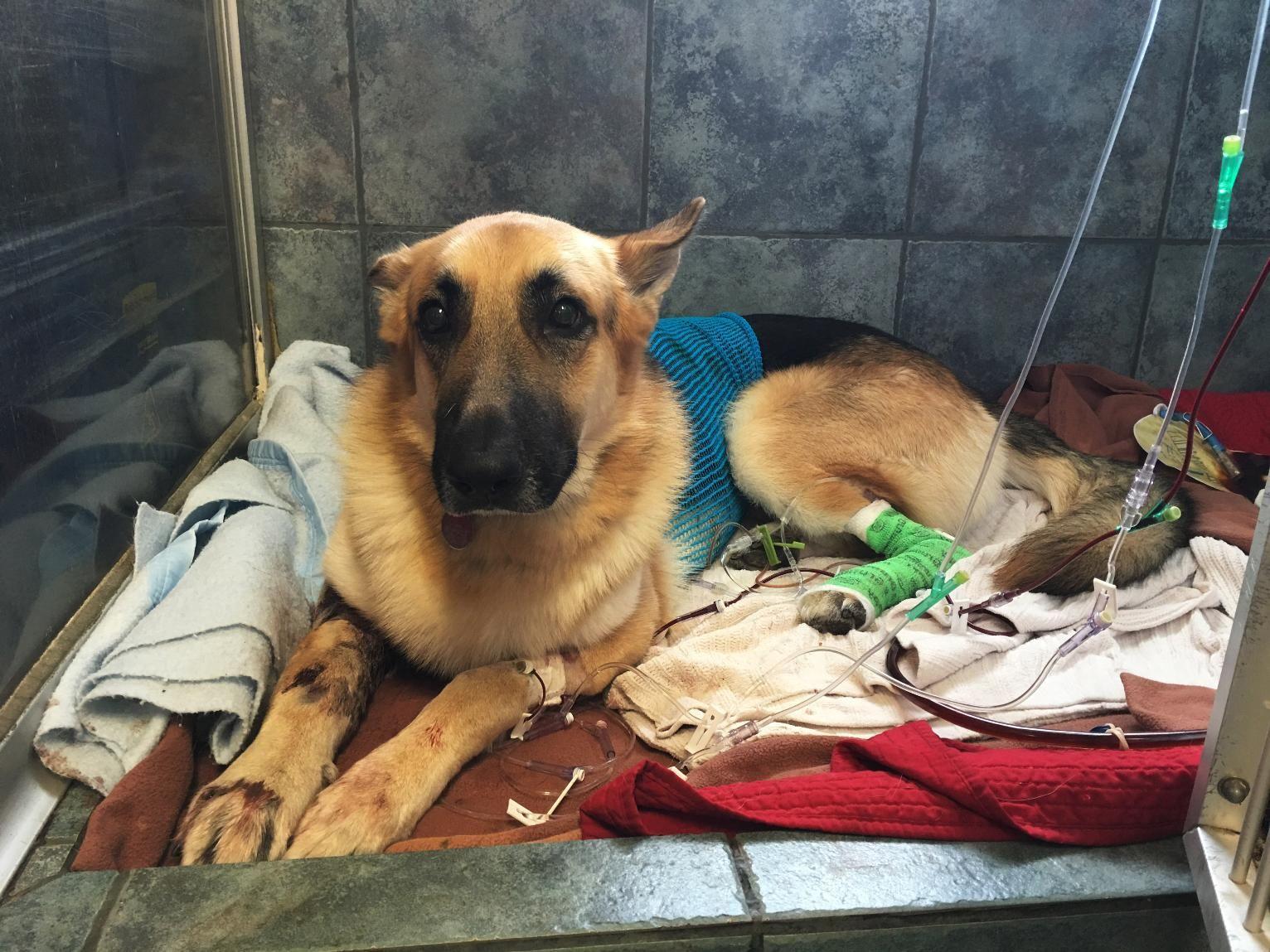 Hero Dog Bitten Saving Girl From Rattlesnake Dogpictures Dogs