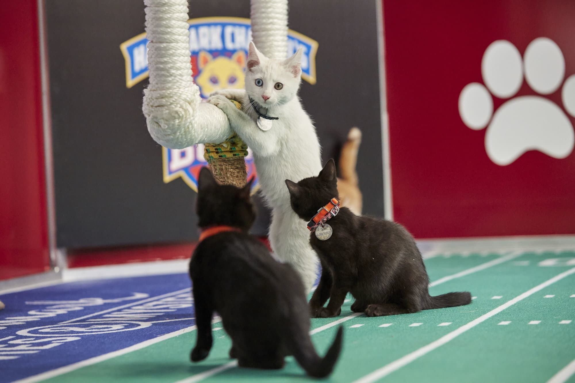 Meet Dc Area Cat Letes That Will Play In Sunday S Kitten Bowl Kitten Bowls Adorable Kitten Puppy Bowls