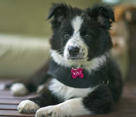Scout The Border Collie Mix Collie Puppies Collie Mix Collie Puppies For Sale
