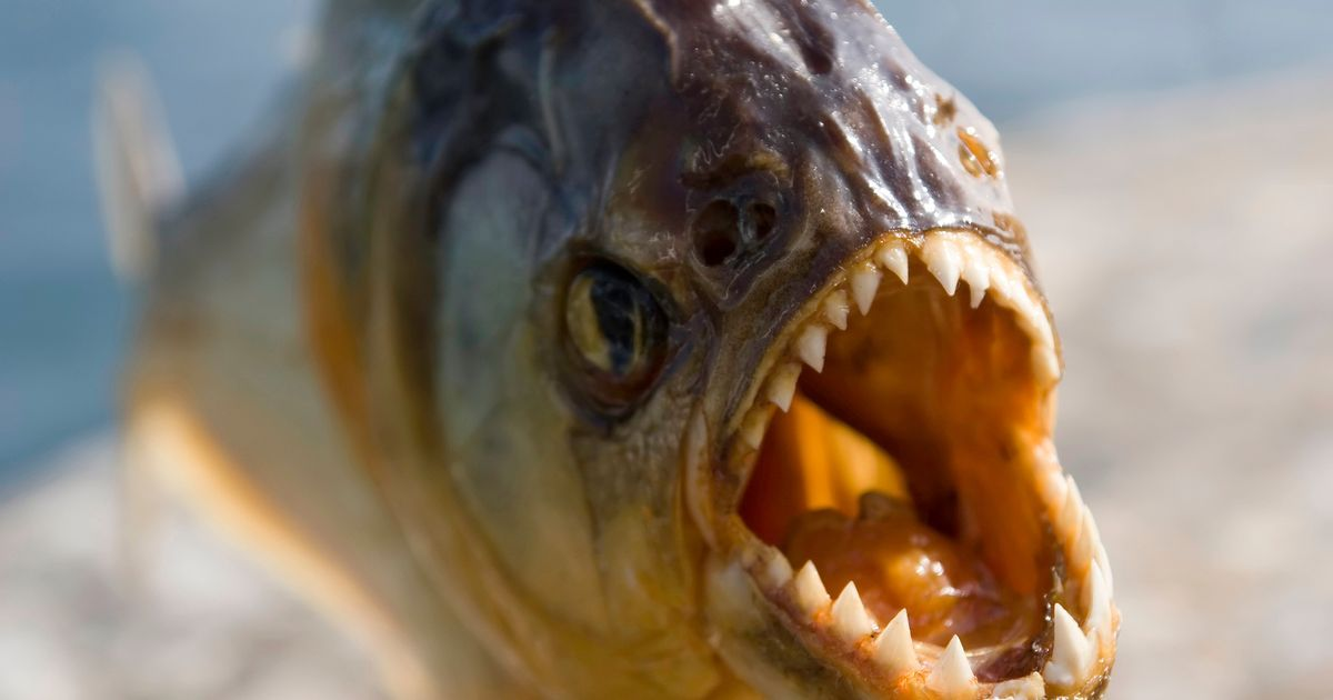 Image Result For Piranha Animal Reference Animal Attack Fish