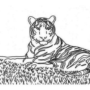 Tiger An Illustration Of Siberian Tiger On A Prairie Coloring