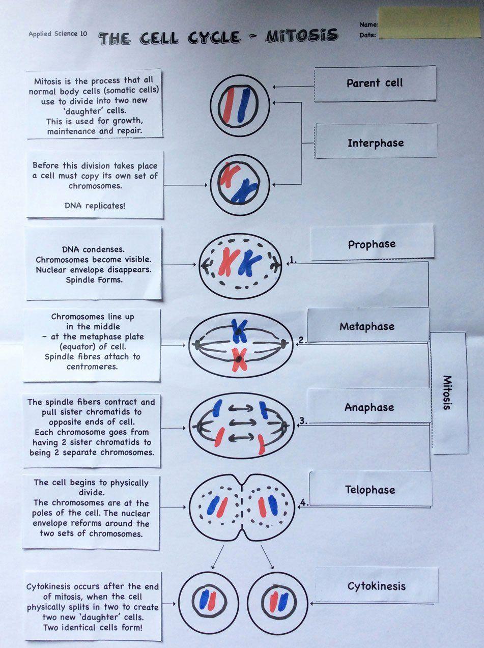 Meiosis Matching Worksheet Answer Key Inspirational
