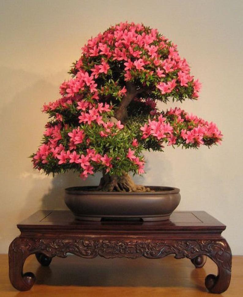 Interior Plant Kit Japonica Bonsai Tree Kit Grow Your Etsy Bonsai Tree Types Bonsai Tree Bonsai Azalea