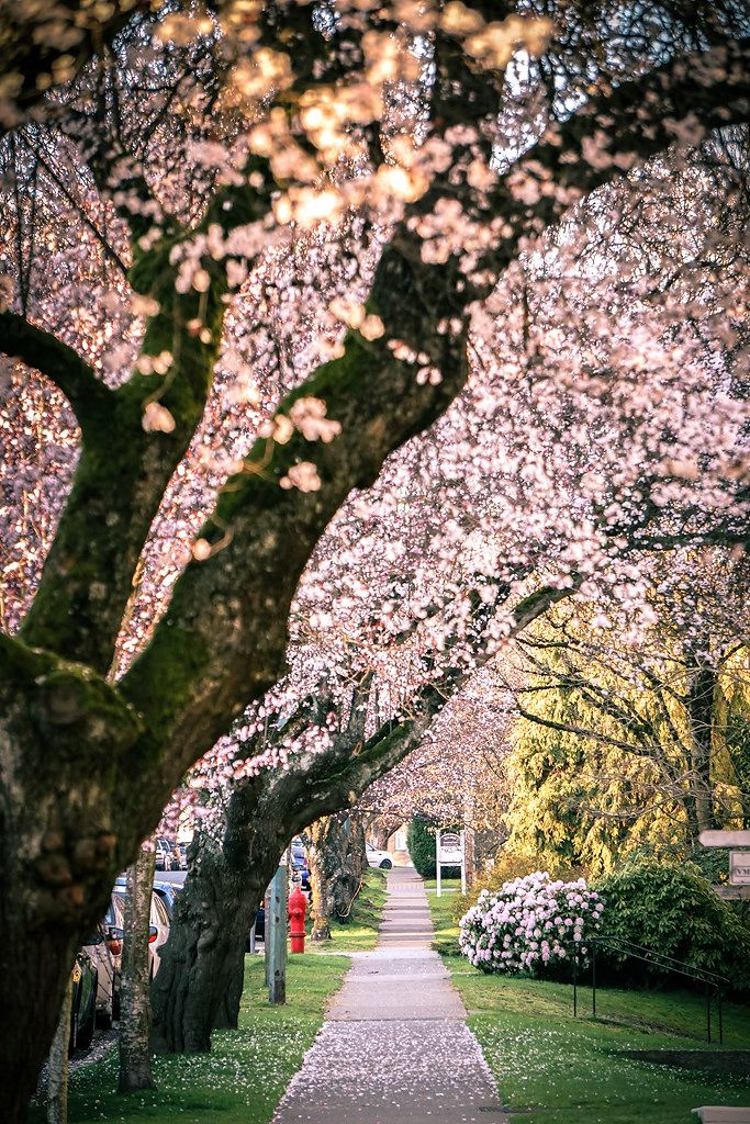 44 Photos Of Early Spring Cherry Blossoms In Vancouver Visit Vancouver Vancouver Canada Photography Canada Photography