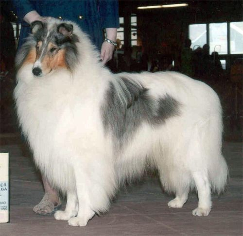 White Blue Merle Rough Collie Ch Us Special Sharp Dressed Man