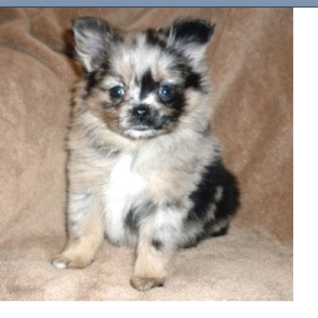 Blue Merle Pomeranian Pet Dogs Puppies Blue Merle