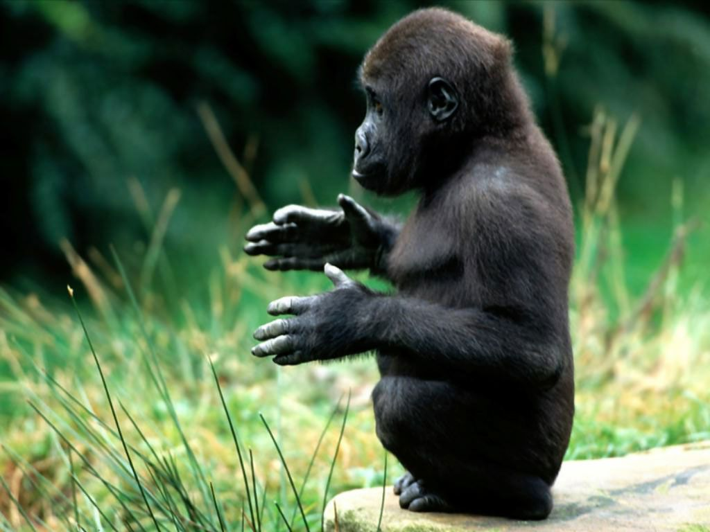 hd animals wallpapers pictures of monkeys spider monkey baby hd