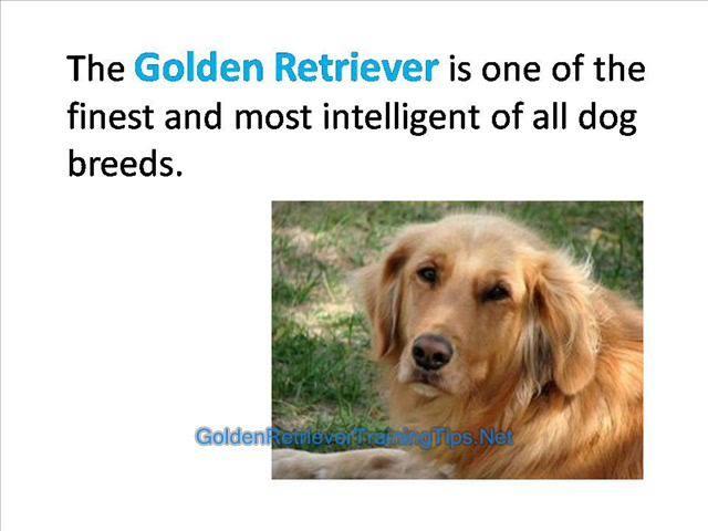 Golden Retriever Training Golden Retriever Obedience Training