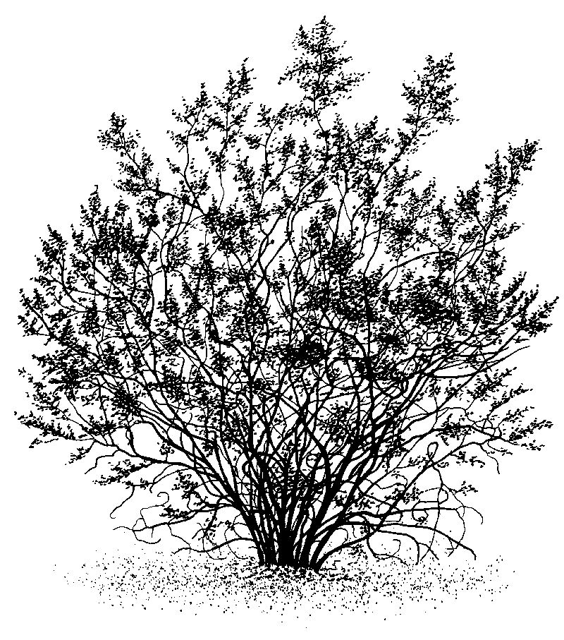 creosote bush drawings google search my precious